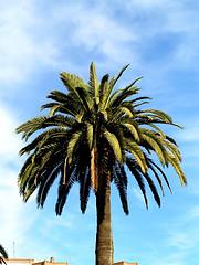 Palme in Spanien