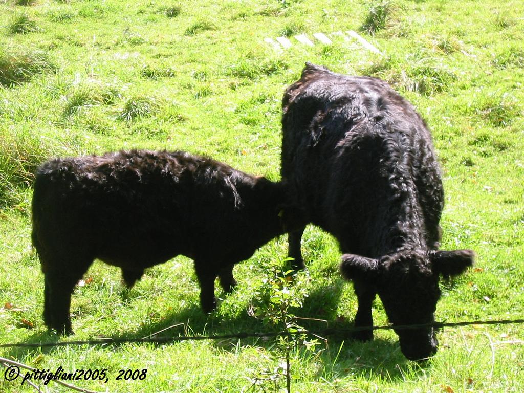 Galloway-Rinder aus Schottland